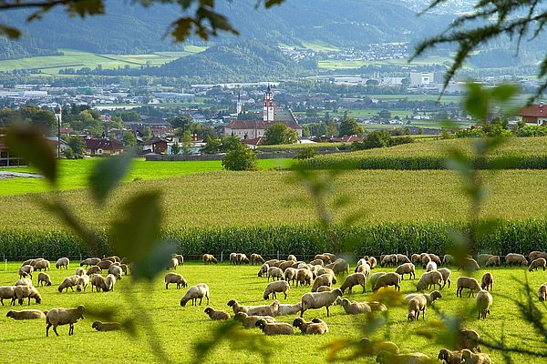 Schafherde in Absand ©Tourismusverband Hall Wattens